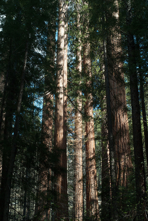 Description of . The Mariposa Grove, near Yosemite's South Entrance, contains about 500 mature giant sequoias. Giant sequoias are perhaps the largest living things on Earth.(Photo by  Walt Mancini)