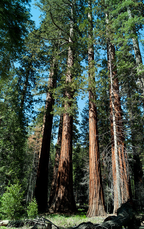 . The Mariposa Grove, near Yosemite\'s South Entrance, contains about 500 mature giant sequoias. Giant sequoias are perhaps the largest living things on Earth.(Photo by  Walt Mancini)